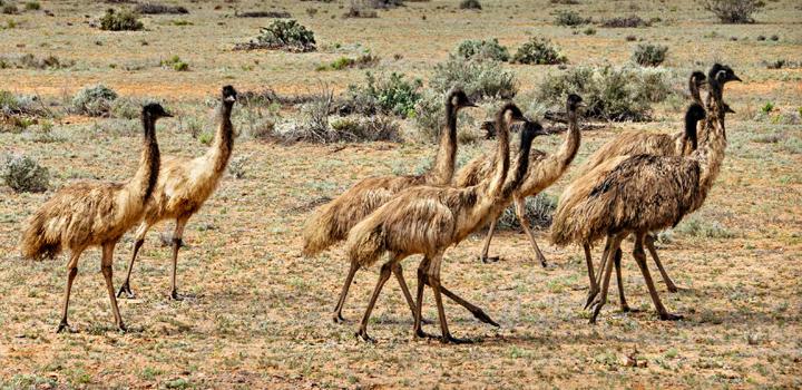 Emus in the Flinders Ranges. Picture: Tim Lindner.