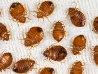 Photo of PEHN Looks to Bed Bug Problem